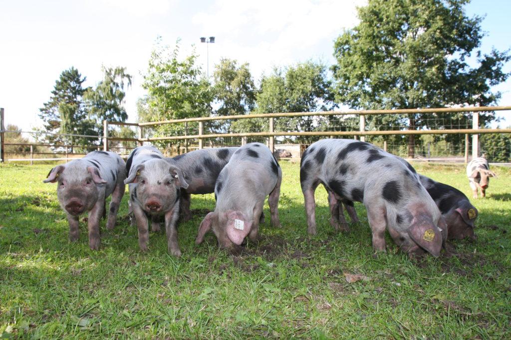 Platzbedarf Schweine