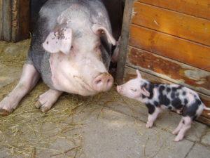 Bunte Bentheimer Schweine